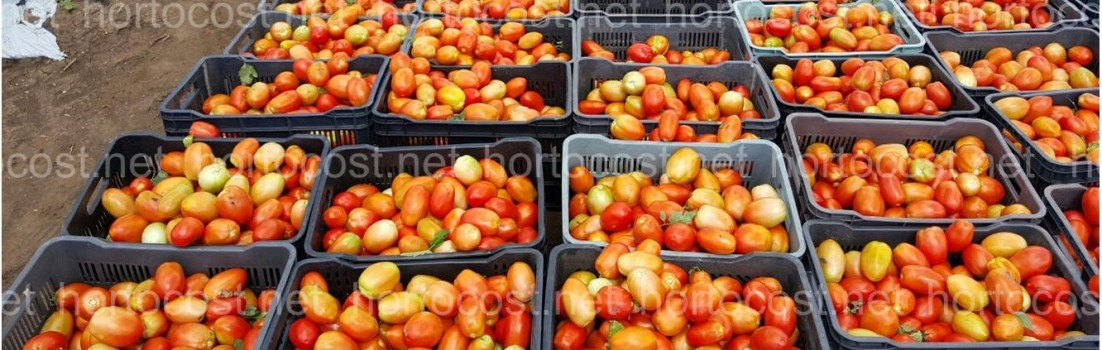 el precio del tomate al día lo encuentras en hortocost