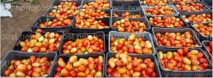 el precio del tomate